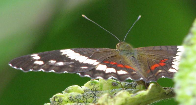 Butterfly  - La Selva
