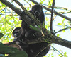Baby Mantled Howler Monkeys  - La Selva