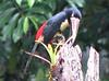 Collared Aracari  - La Selva