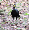 Great Curassow Male  - La Selva