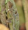 Lizard Along Trail  - La Selva