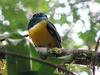 Violaceous Trogo  - La Selva