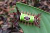 Saddleback Caterpillar  - La Selva