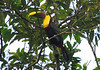 Chestnut-mandibled Toucan  - La Selva