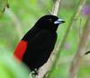 Male Scarlet-rumped Tanager  - La Selva