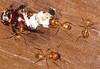Army Ants Patrol Outside My Door - Took Out A Beetle  - La Selva<br /> Aren't those little eyes so cute?!