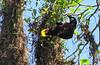 Montezuma Oropendola By A Nest  - La Selva