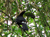 Keel-billed Toucan  - La Selva
