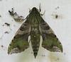 Moth  - La Selva