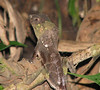Unidentified Lizard  - La Selva