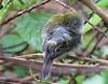 Chestnut-sided Warbler (Setophaga pensylvanica) - La Selva