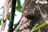 Banded-backed Wren  - La Selva