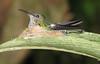 White-Necked Jacobin On Nest  - La Selva