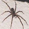 Large Spider That Enjoyed A Corner Of My Room - Looks Like He's Got A Headlight On Him From Camera Flash  - La Selva