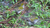 Two Chestnut-sided Warblers Taking Bath In Rain Puddle  - La Selva