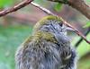 Chestnut-sided Warbler (Setophaga pensylvanica) After The Rain  - La Selva