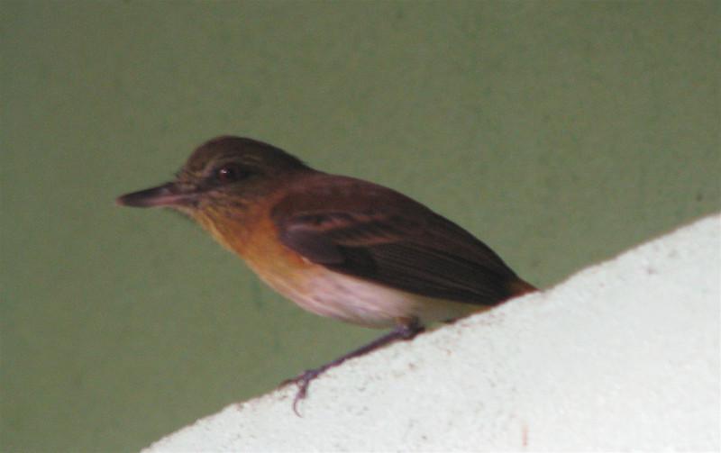 Unidentified - Possible Pale-vented Robin  - La Selva