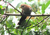 Squirrel Cuckoo  - La Selva<br /> Cuckoos stay mostly in the middle to the tops of trees, where they forage for preferred meals in insects and lizards. it also likes large insects including caterpillars, cicadas, grasshoppers and beetles. (Source: asawright.org)