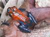 Poison Dart Frog  - La Selva