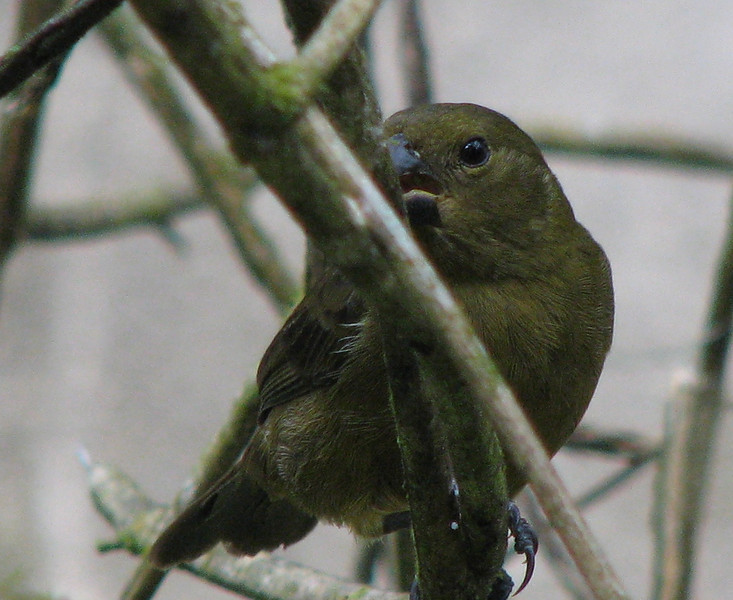 Unidentified Bird  - La Selva