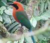 Rufous Motmot  - La Selva