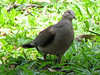 Possible Short-billed Pigeon or Gray-chested Dove  - La Selva