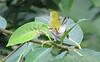 Chestnut-sided Warbler  - La Selva