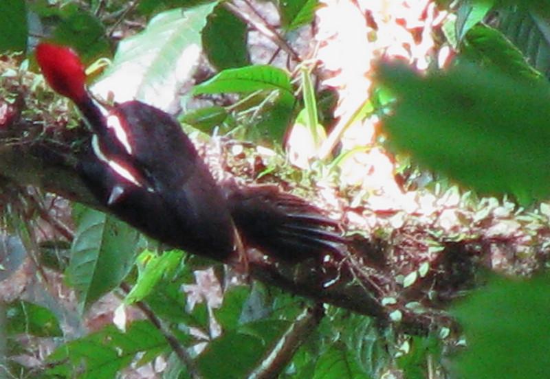 Pale-billed Woodpecker  - La Selva