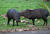 Collared Peccary - Looks Like Mom Cleaning Baby  - La Selva