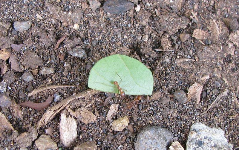 Leaf Cutter Ants  - La Selva