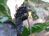 Great Curassow Male Behind My Cabin  - La Selva