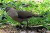 Possible Gray-chested Dove  - La Selva