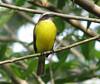 Social Flycatcher  - La Selva
