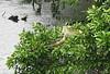 Green Iguana Lying Above River On a Branch  - La Selva