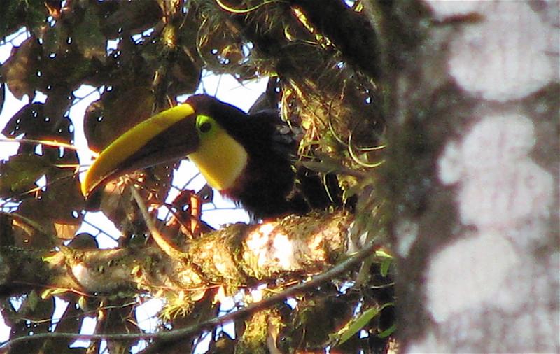 Chestnut-mandibled Toucan  - La Selva