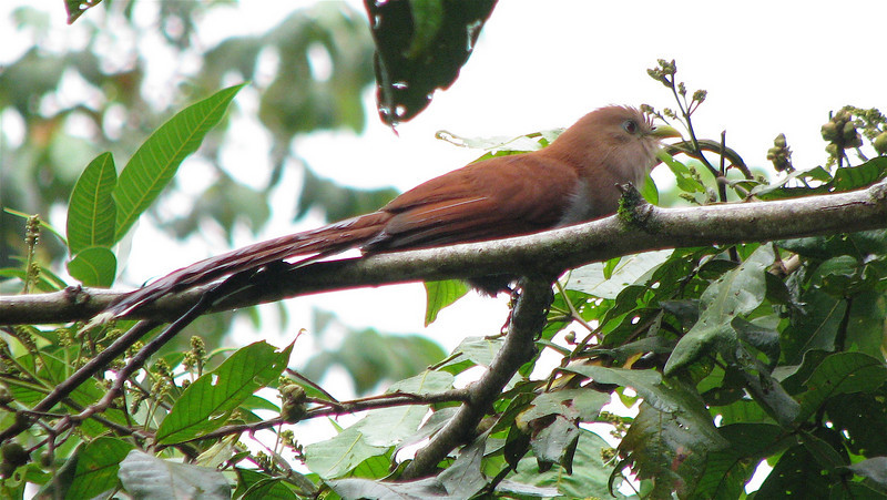 Squirrel Cuckoo  - La Selva<br /> The Squirrel Cuckoo has a rufous head, back and long tail with white-tipped tail feathers, red eyes and a greenish-yellow eye-ring and bill. (Source: asawright.org)