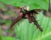 Saddleback Caterpillar Is Eating The Leaf From The Underside  - La Selva