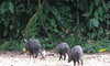 Peccaries - The Leader Has Some Food  - La Selva