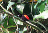 Male Scarlet-rumped Tanager  - La Selva