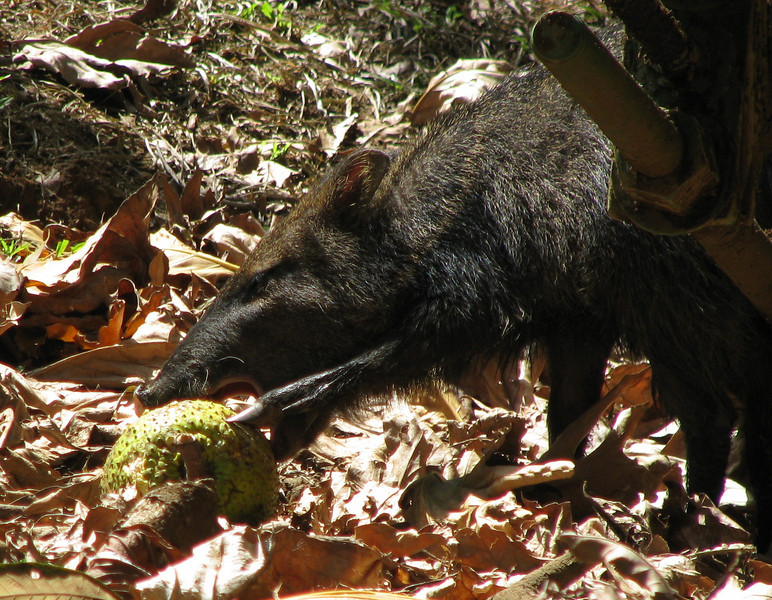 Collared Peccary Eating A Bread Fruit  - La Selva