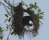 Montezuma Oropendola Building Nest  - La Selva