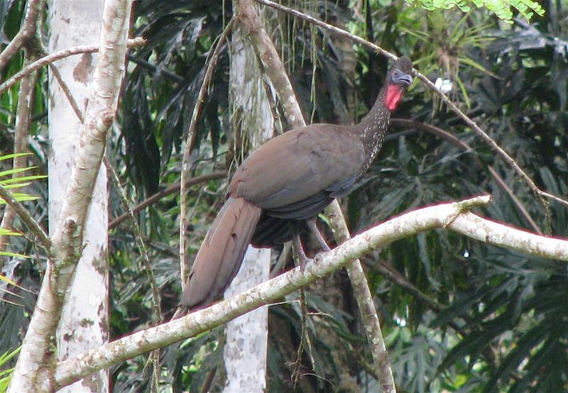 Crested Guan  - La Selva