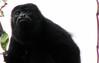 Mantled Howler Monkey  - La Selva