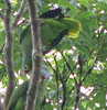 Red-lored Parrots - Pair Feeding Each Other  - La Selva
