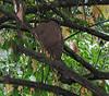 Termite Nest  - La Selva