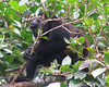 Mantled Howler Monkey  - La Selva