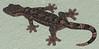 Central American Smooth Gecko  - La Selva