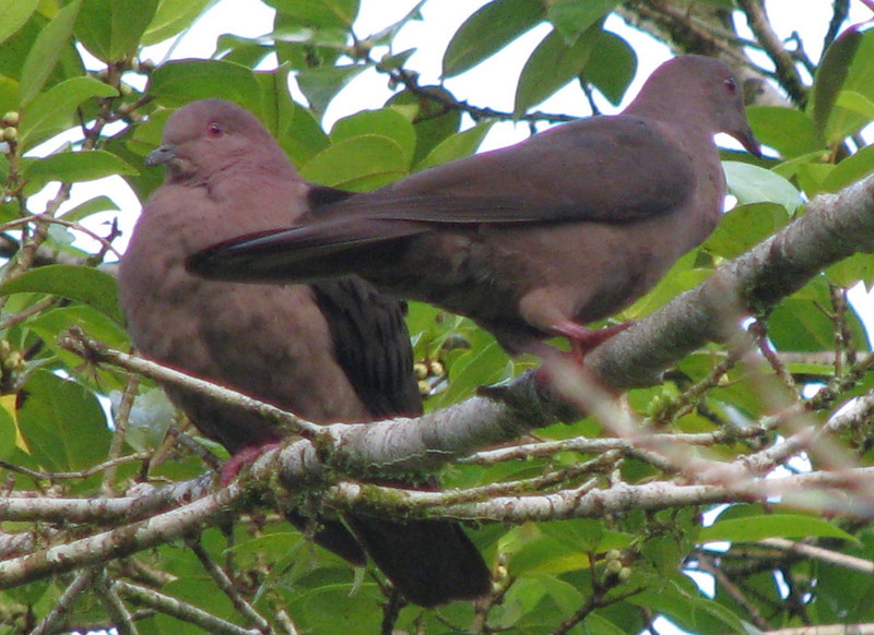 Short-billed Pigeon  - La Selva
