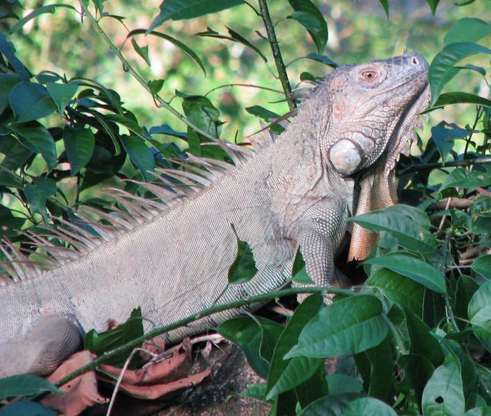 Male Green Iguana  - La Selva