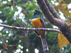 Misty Morning Violaceous Trogon  - La Selva